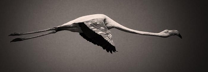 Flight of a Flamingo