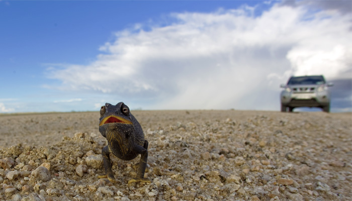 An angry Namaqua chameleon on the road.