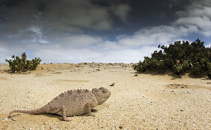 The world of a friendly Namaqua chameleon