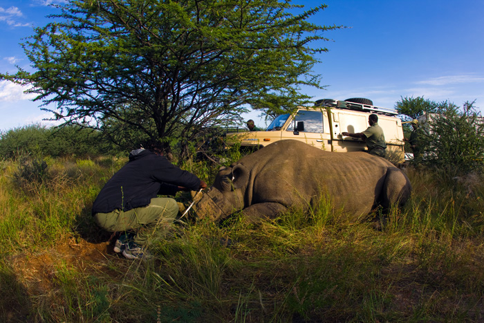 A science warden collects samples from a captured rhinoceros