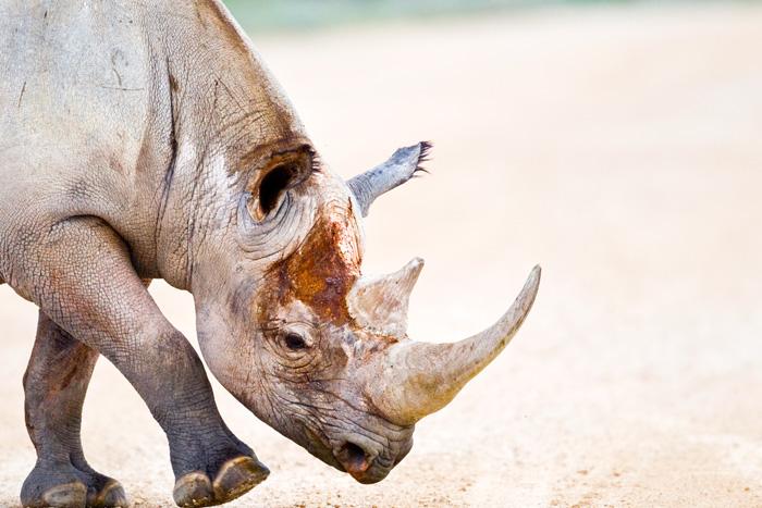 An Injured Rhinoceros