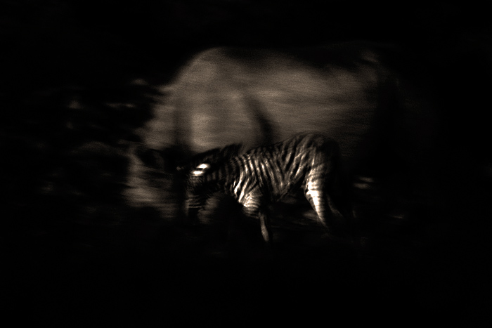 An orphaned zebra foal trying to stay close to a black rhinoceros