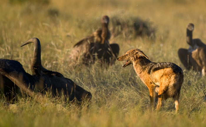 A black-backed jackal keeping vultures at bay near a wildebeest carcass