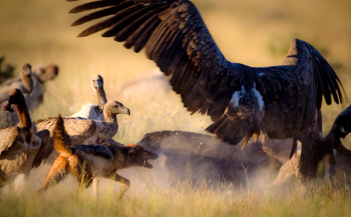 Jackal trying to chase away a vulture.
