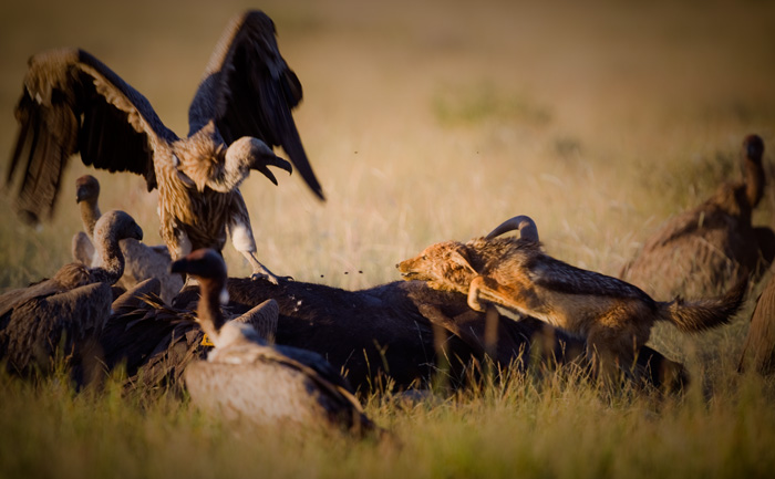 Jackal trying to scare away the vulture.