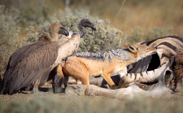 Vultures look on as the jackal tries to feed on skin and bones