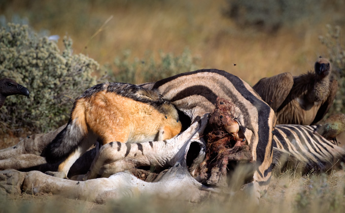 The jackal looks inside for better meat