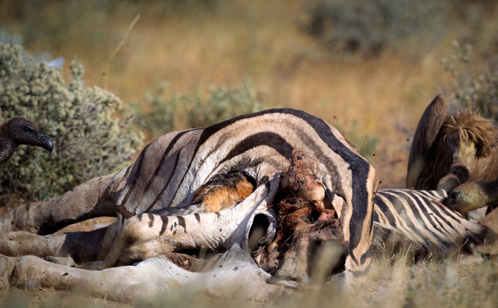 The jackal goes into the dead zebra's ribcage to feed on what's left inside