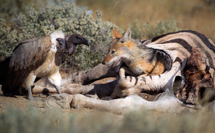 The vulture seems to be interested by the jackal's  behavior!
