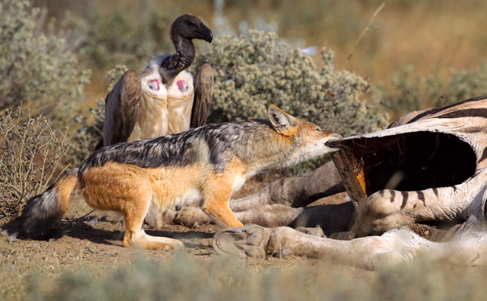 In desperation, the jackal tries pulling away the carcass, or at least widen the hole.