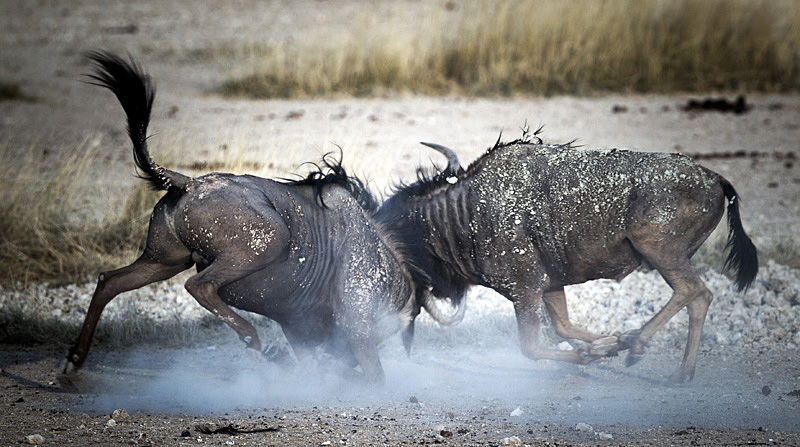 The epic battle between two wildebeests