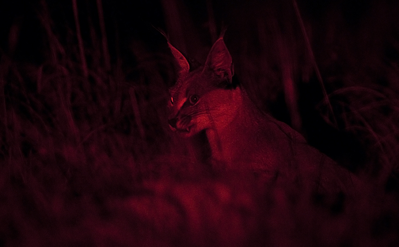 Caracal hissing and baring its teeth to keep jackals away. The red light is not visible to many animals and is useful to watch them behave naturally in the dark.
