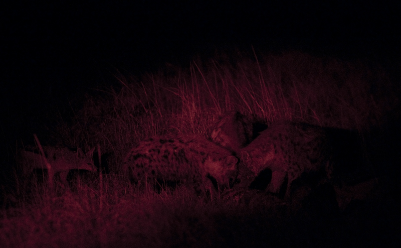 Hyenas and jackals feeding together on the carcass.