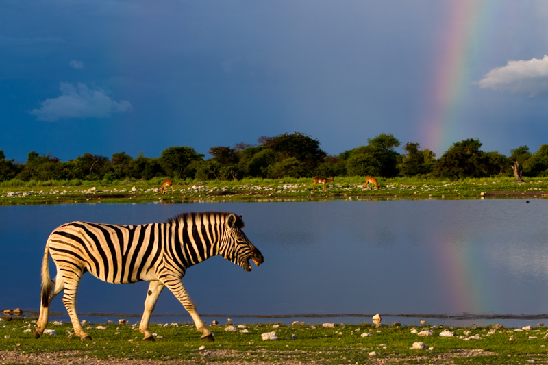 A zebra walks in front of a rainbow near the Klein Namutoni waterhole.