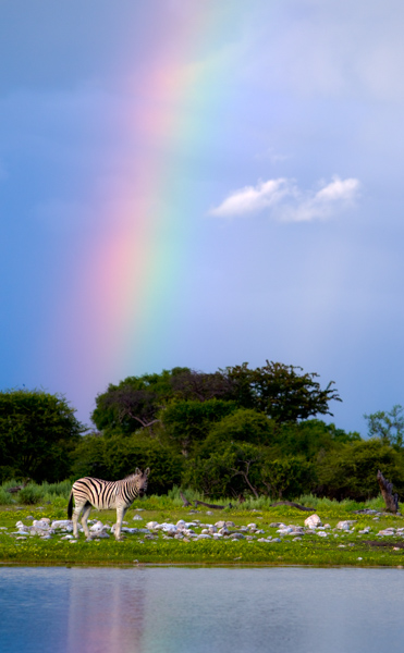 A zebra at the end of a rainbow.