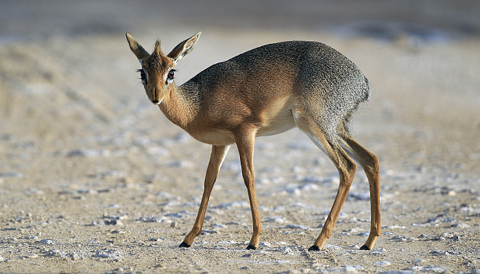 Female Damara Dik-Dik