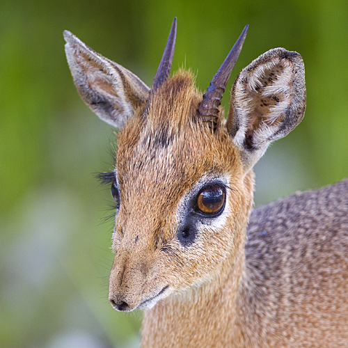 A Male Damara Dik-Dik