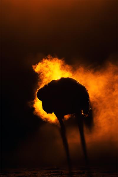 An ostrich after a dust bath.