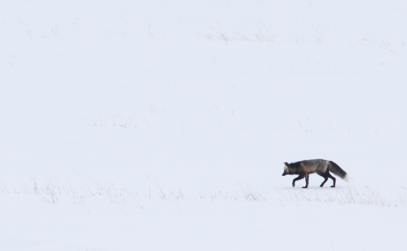A fox is looking for a meal that moves under the snow.