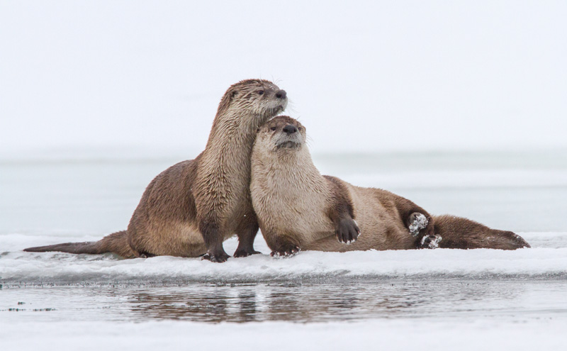 River otters take a break from fishing