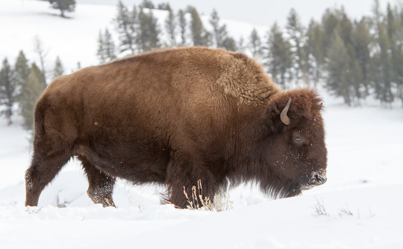 A bison moves from one buried pasture to another buried pasture