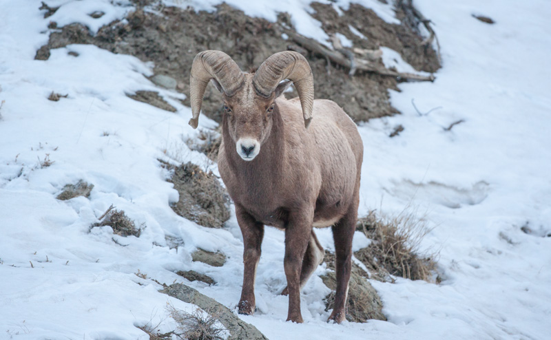 Bighorn sheep look for what's left on steep mountain slopes