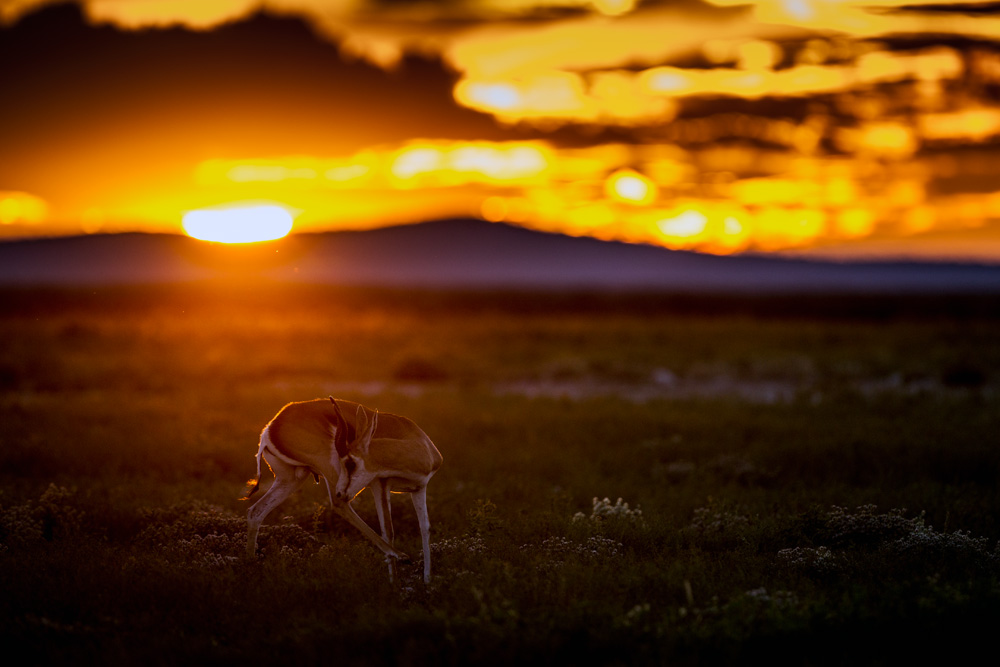 Male springbok at sunset near Gemsbokvlakte