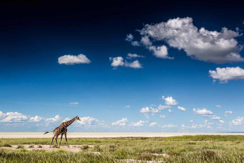 Giraffe and Etosha pan