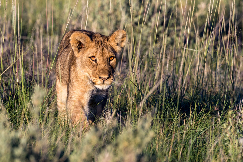 A cub playing the stalking game in the tall grass.