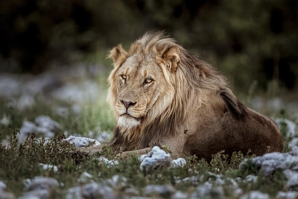 A lion waits near the Olifantsbad waterhole