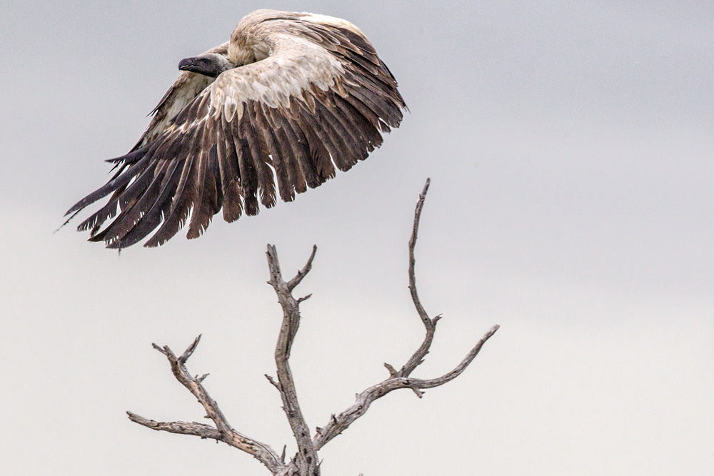 A white-backed vulture taking-off from its perch