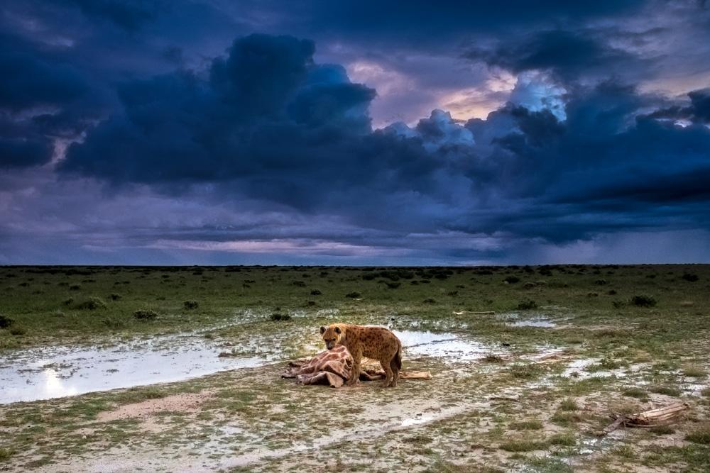 A hyena stands beside an old giraffe carcass under the storm clouds