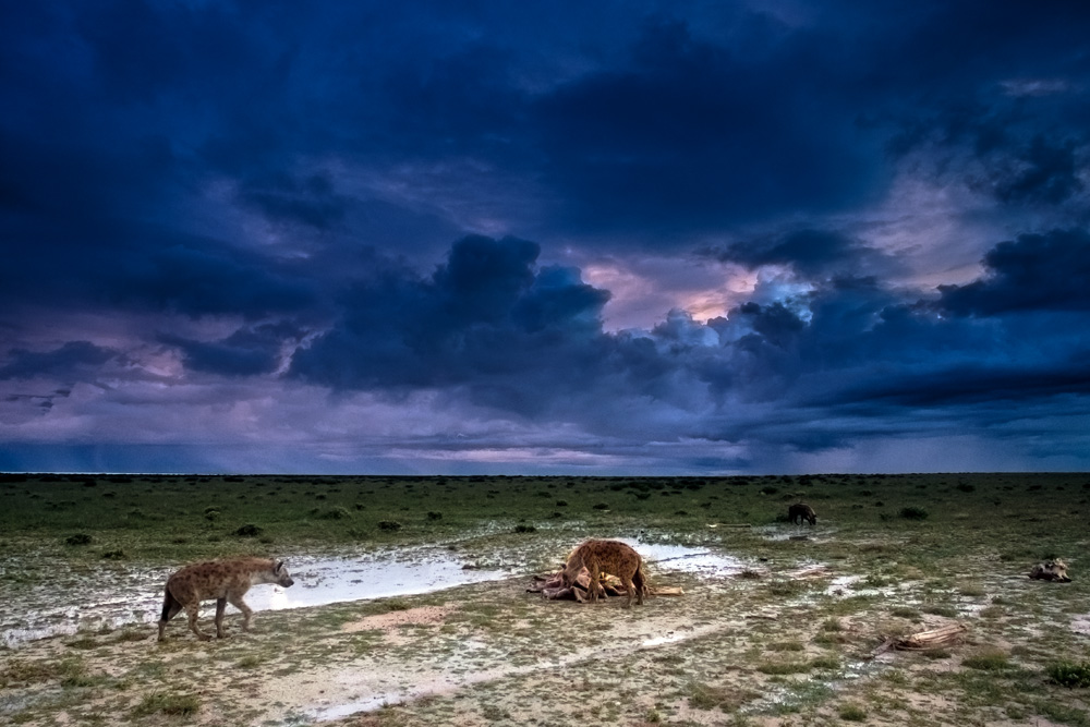 Hyenas chewing on old bones and leather after a downpour