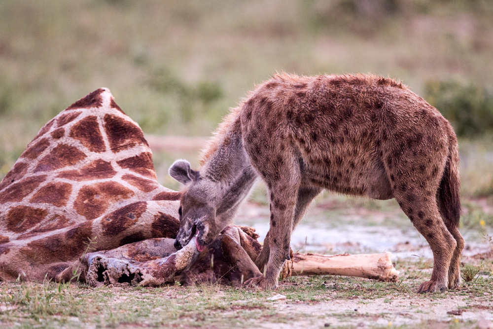 A hyena chewing on old bones