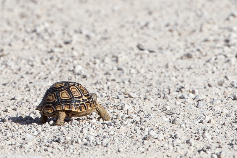 Leopard tortoise crossing a park road