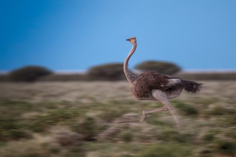 A sprinting female ostrich near Gemsbokvlakte