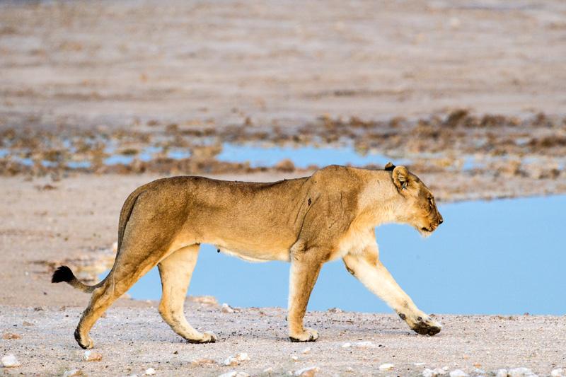 The mother lion walks toward the waterhole.