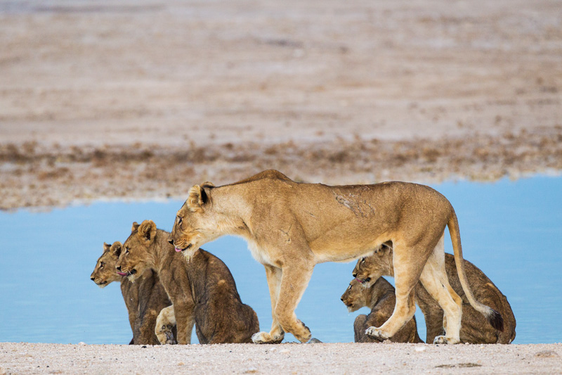 The mother and her cubs look toward another member of the pride who began to call out.