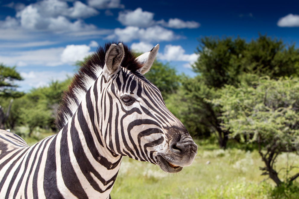 Wendy's zebra photograph
