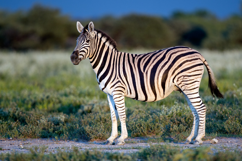 Zebra profile in late evening light