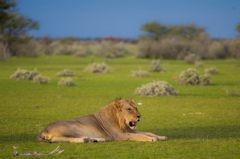 Kenobi, the smaller brother rests on a short-grass veld.