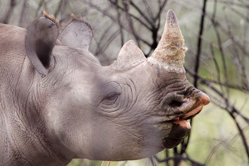 A young black rhinoceros shows its hooked lip.