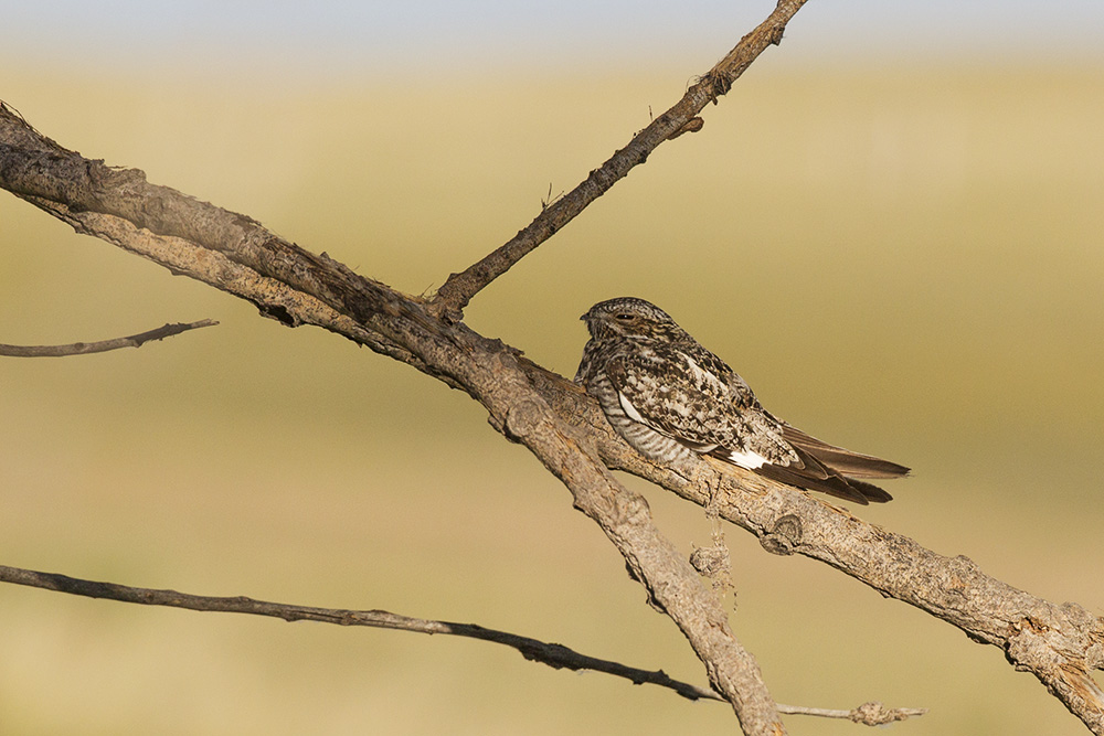 A common nighthawk (Chordeiles minor) in Wyoming, USA.