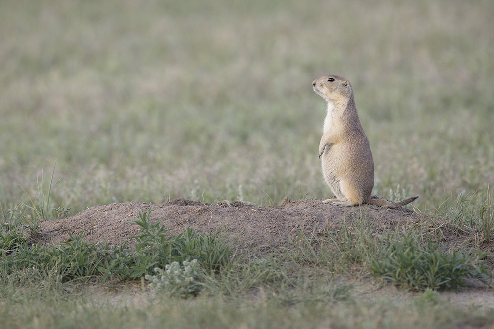 A black-tailed prairie dog sentinel keeps a lookout for danger.
