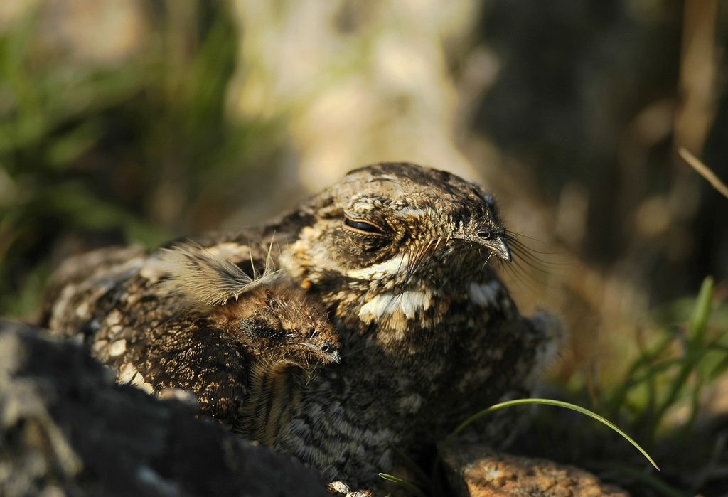 A jungle nightjar (Caprimulgus indicus) in southern India. This, as I realized later, was in fact a nest.