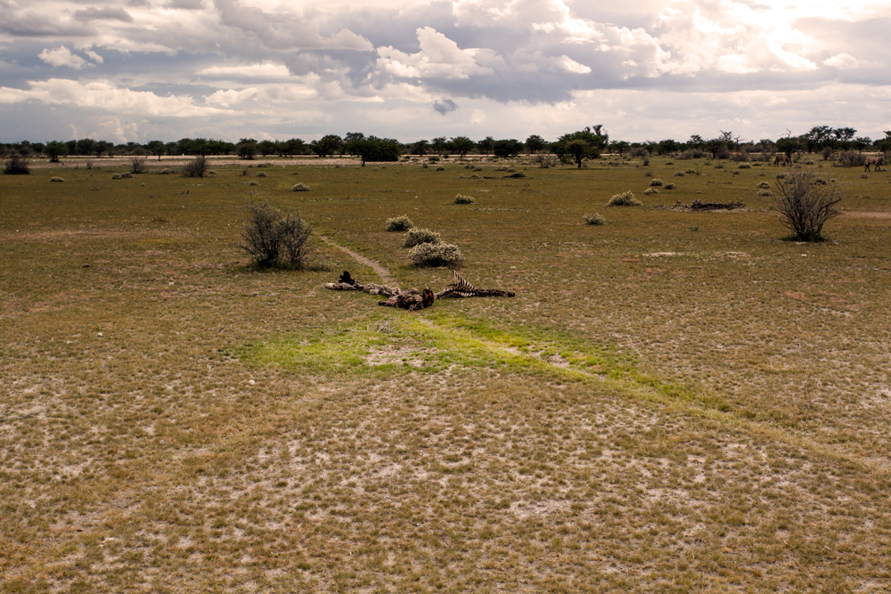 This image shows the area  where nutrients from the dead zebra went to the soil. The grass is greener and more attractive than the dry and unattractive grass all around.