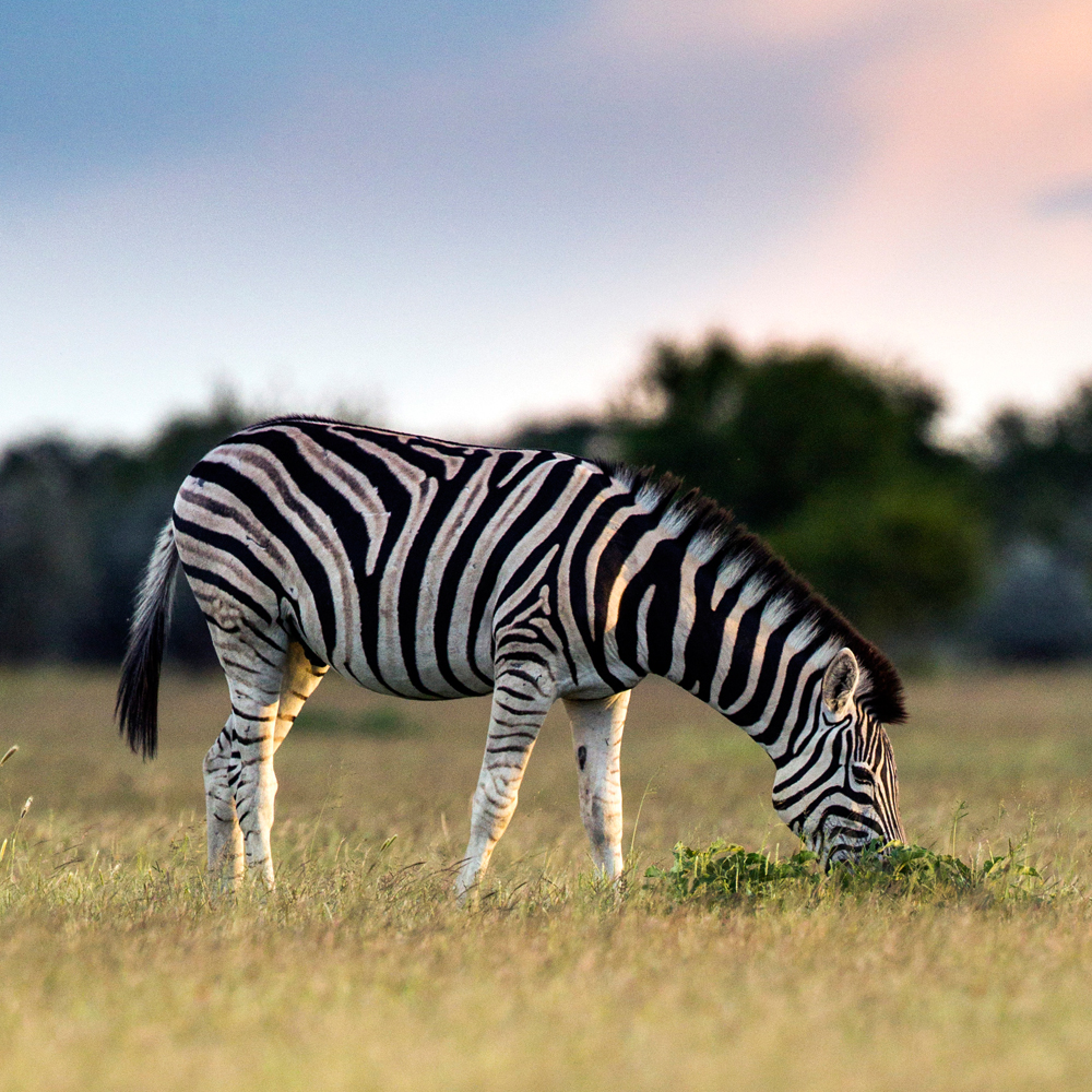 Zebras are lured to the better feeding areas, unaware that there may be dangerous pathogens lurking in the soil below.