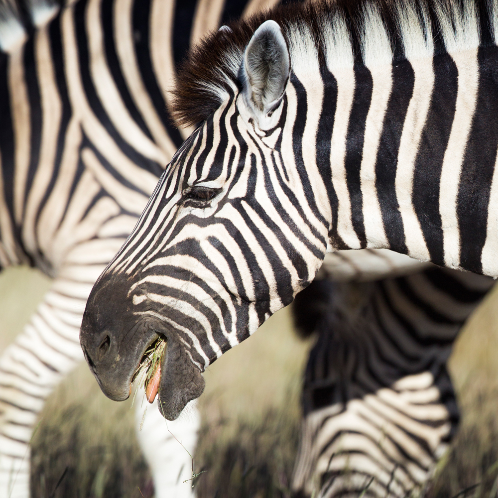 The grasses consumed by zebras can carry anthrax (in its various forms).