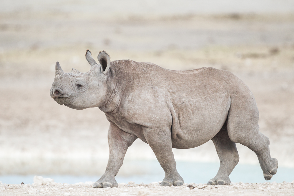 2012 - Young black rhino.