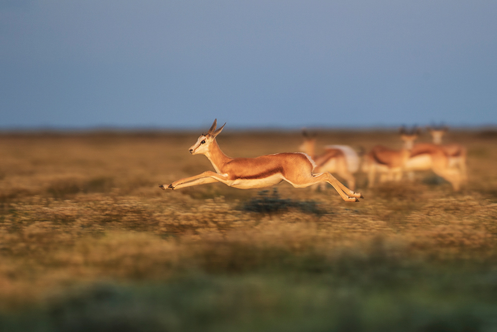Speeding springbok